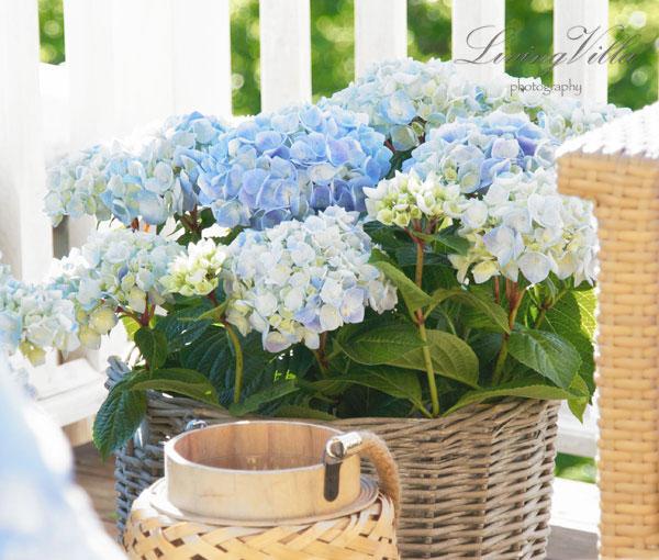 Utetid-blå-hortensia-rotting-llykt-bohus